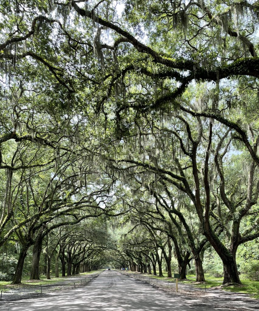 wormsloe park moss lined road